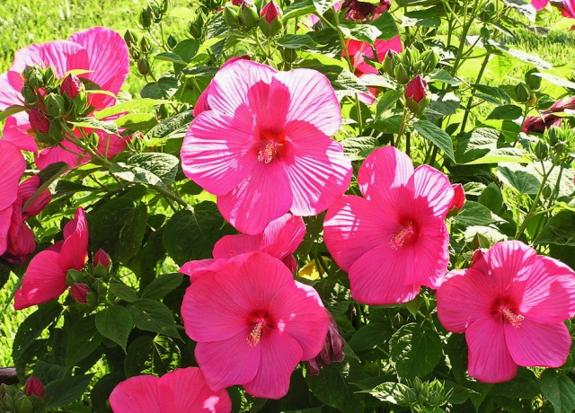 Полезные свойства гибискуса (китайской розы) фото