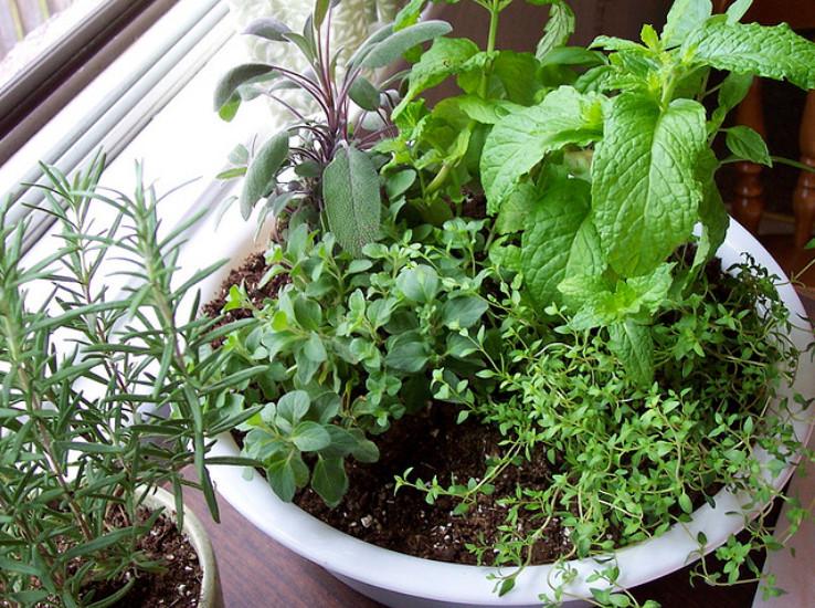 Зелень, выращенная в домашних условиях