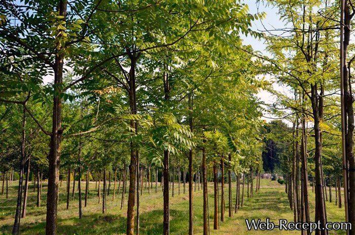 Как выглядят деревья американского ореха черного